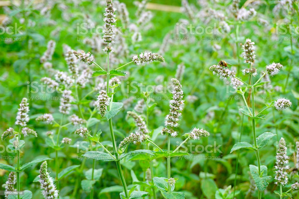 Blooming wild mint. For herbal tea drinks stock photo