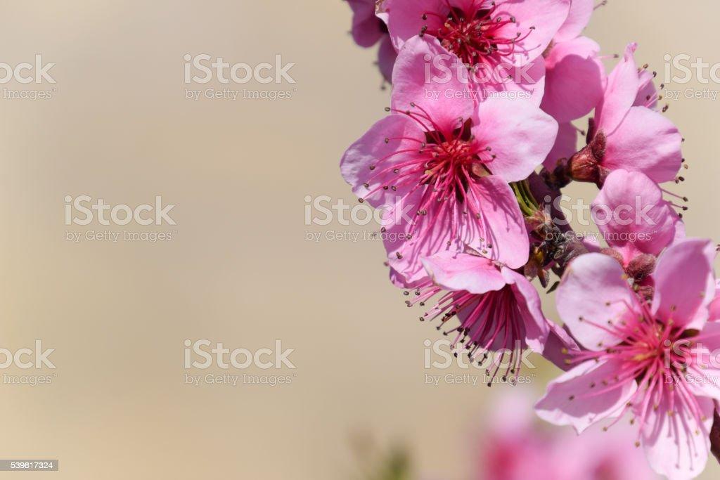 Blooming wild peach in the garden stock photo