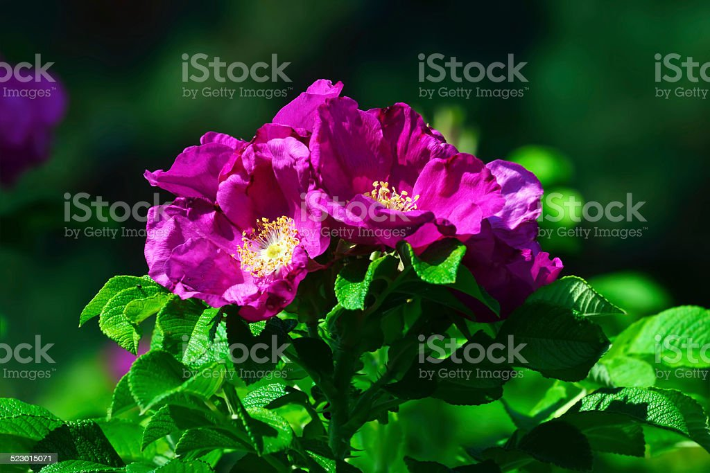 Blooming wild rosehip closeup stock photo