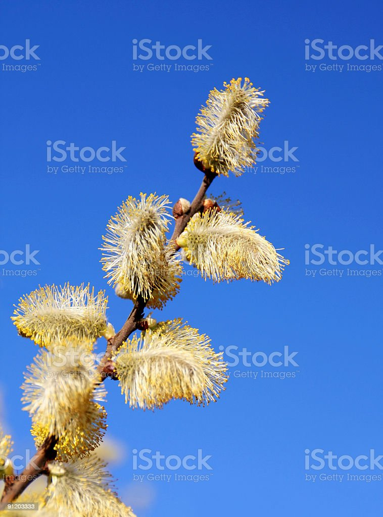 Blooming willow branch stock photo