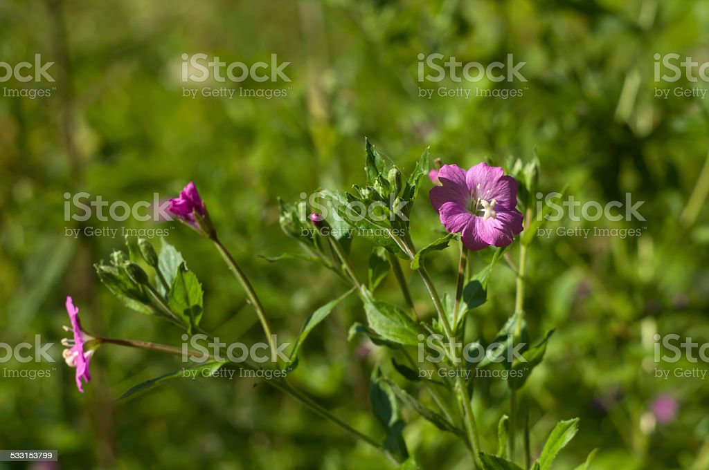 Blooming Willowherb (Epilobium hirsutum) closeup stock photo