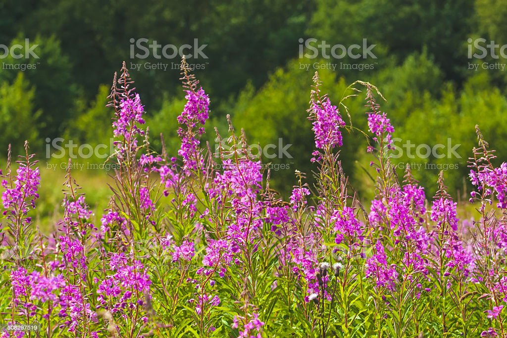 Blooming willow-herb royalty-free stock photo