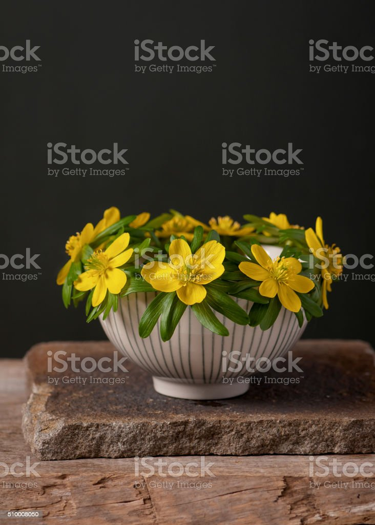 Blooming winter aconites in a ceramic bowl. stock photo