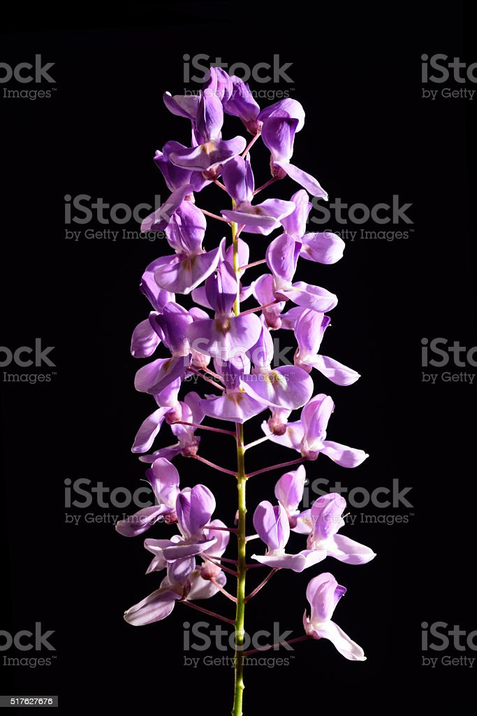 Blooming wisteria flowers isolated stock photo