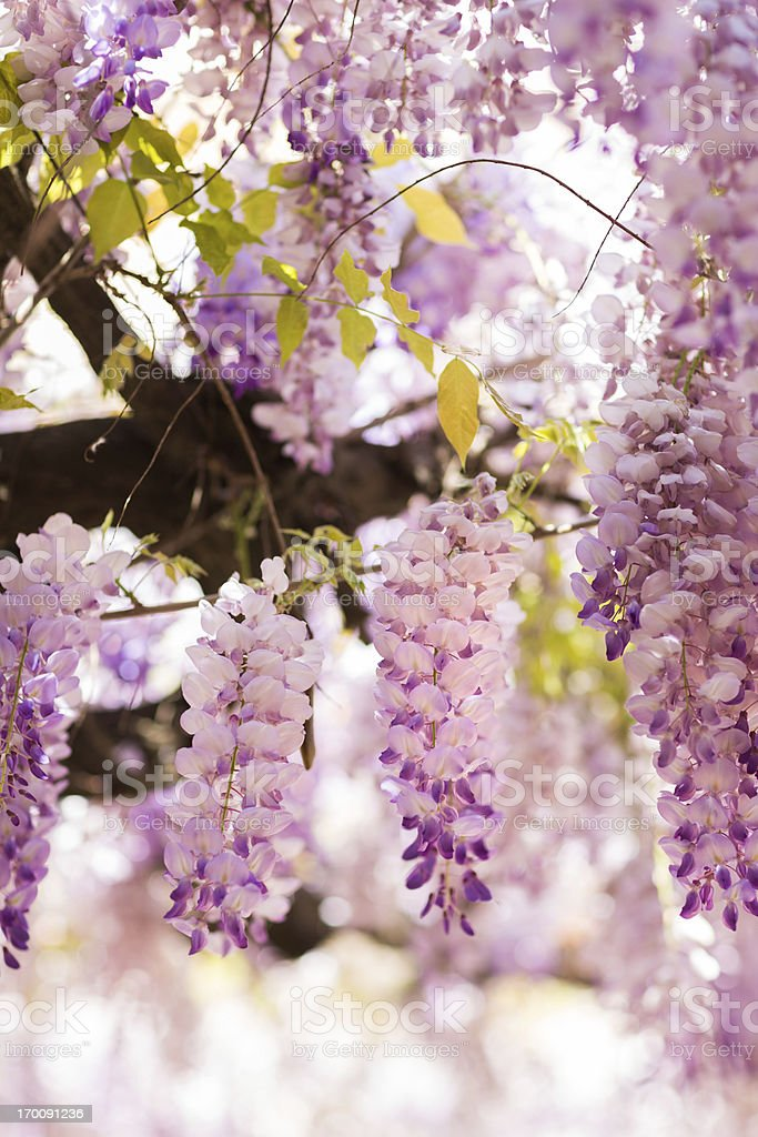 Blooming Wisteria in Rome, Italy royalty-free stock photo