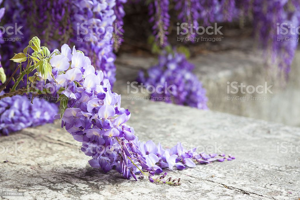 Blooming Wisteria in Rome, Italy stock photo