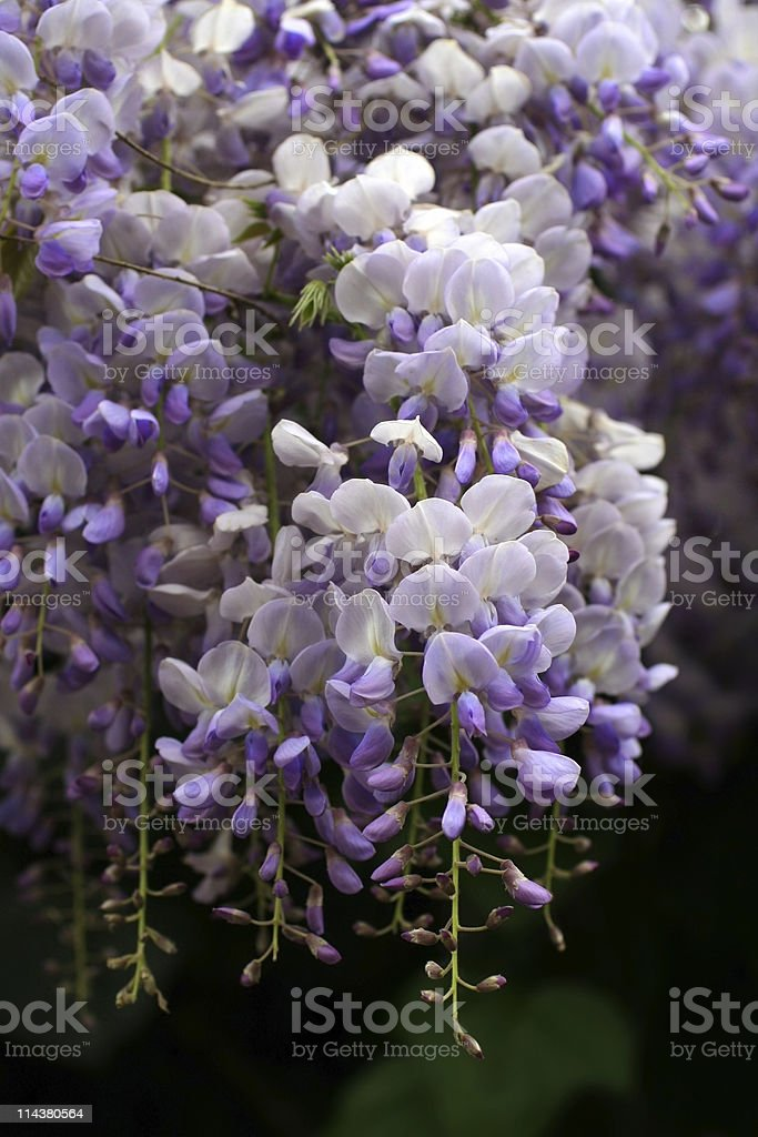 Blooming Wisteria in Rome royalty-free stock photo