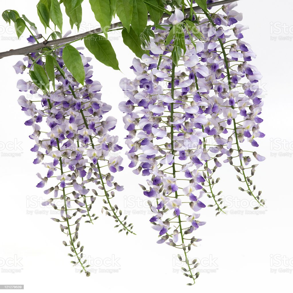 Blooming wisteria stock photo