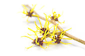 blooming witch hazel, medicinal plant Hamamelis, isolated on white