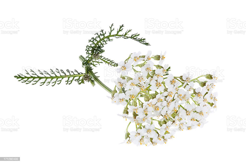 blooming yarrow (achillea) isolated on white royalty-free stock photo