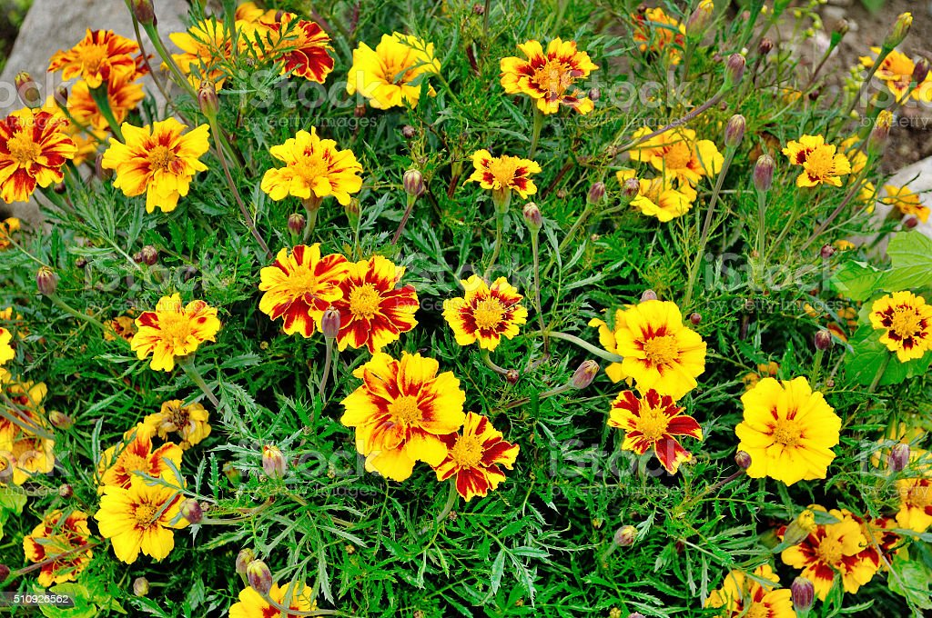 Blooming yellow and red  flowers of marigold stock photo