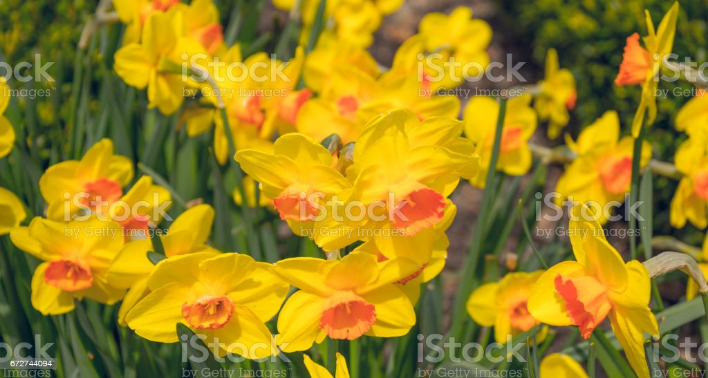 Blooming yellow daffodils. Spring Sunny garden stock photo