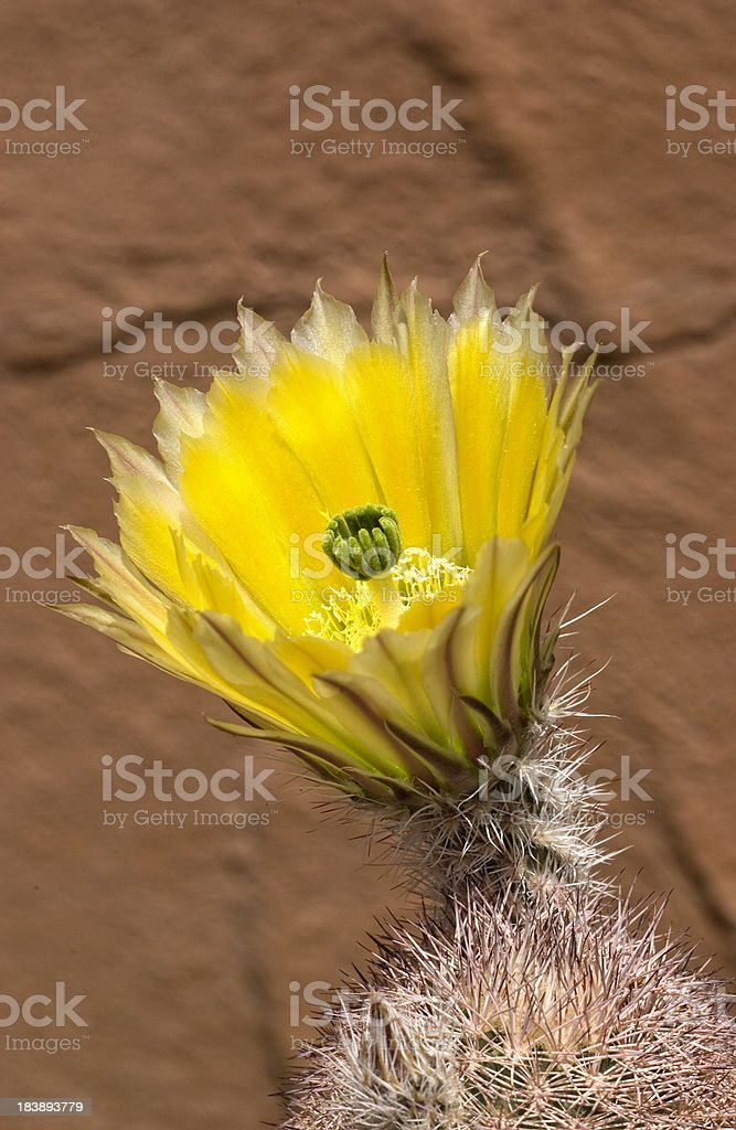 Blooming Yellow Hedgehog Cactus royalty-free stock photo