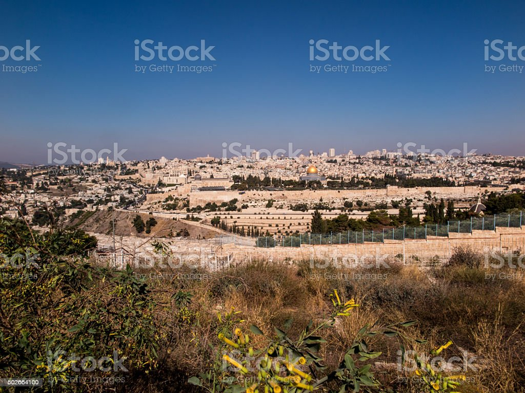 blooming yellow mustard biblical bush on the Mount of Olives stock photo