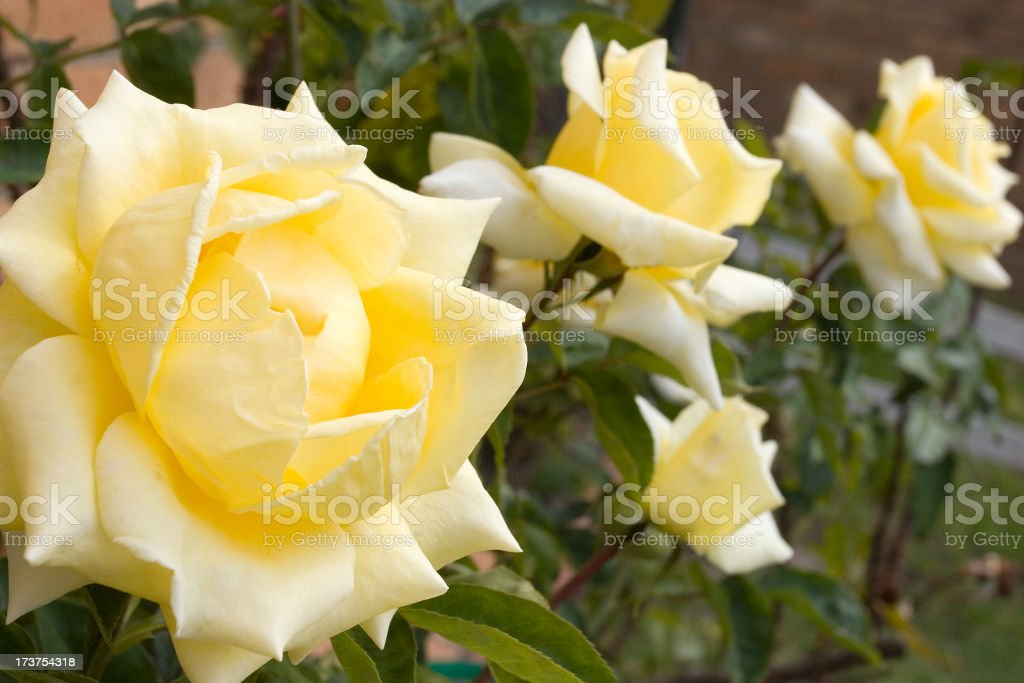 Blooming Yellow Roses royalty-free stock photo