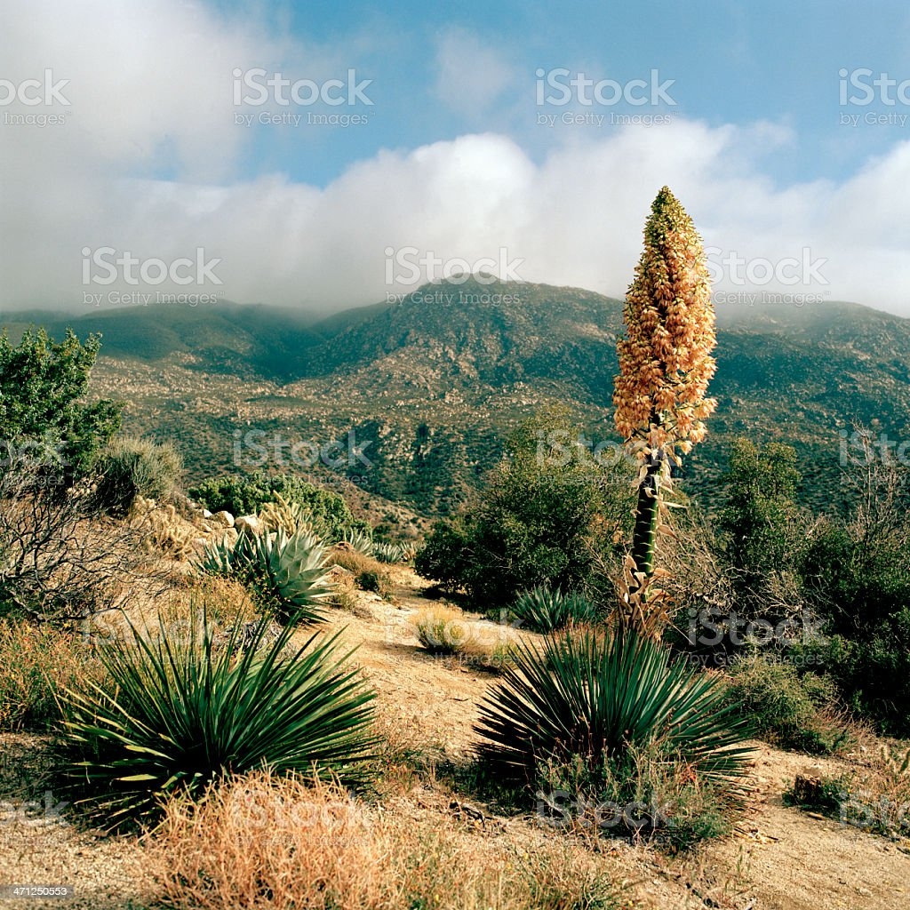 Blooming Yucca  Above Palm Desert, California royalty-free stock photo