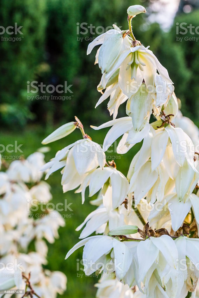 Blooming Yucca L.. stock photo