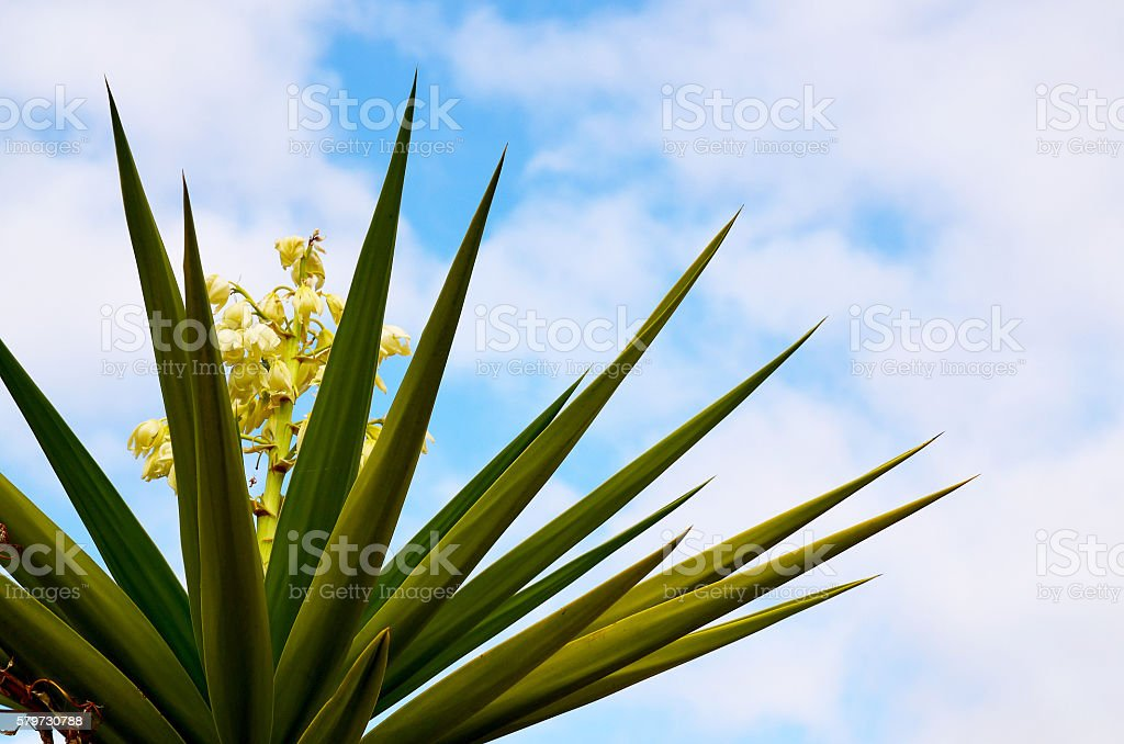 Blooming Yucca plant against blue sky. stock photo