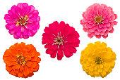 Blooming Zinnias