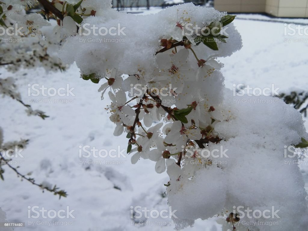 Blooms in the middle of snow stock photo