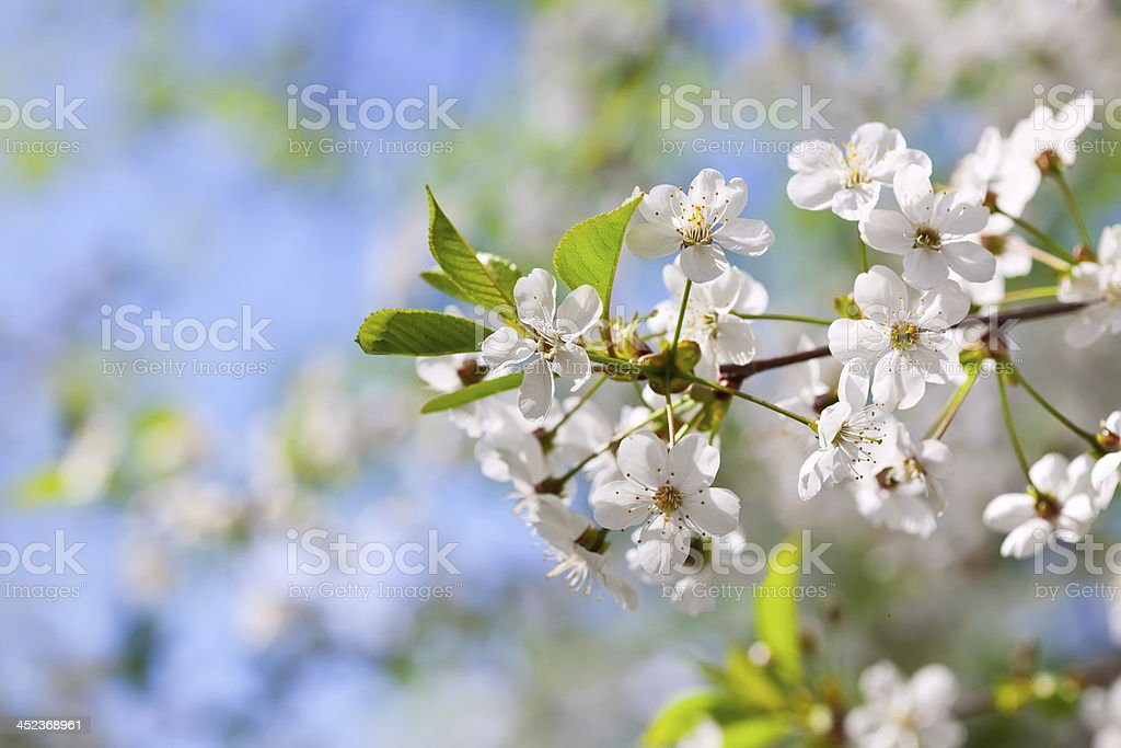 blooms tree branch in spring royalty-free stock photo