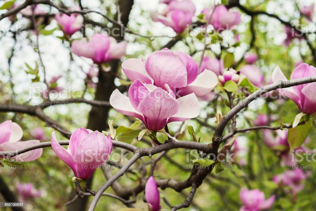 Bloomy magnolia tree with big pink flowers stock photo