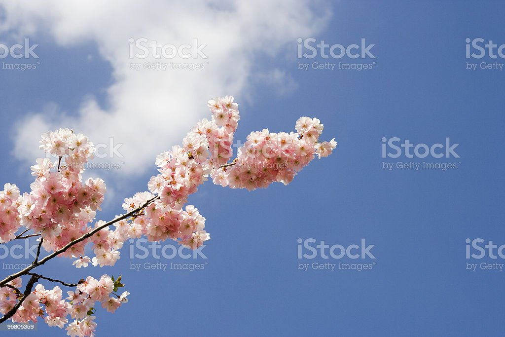 blossom against blue sky royalty-free stock photo