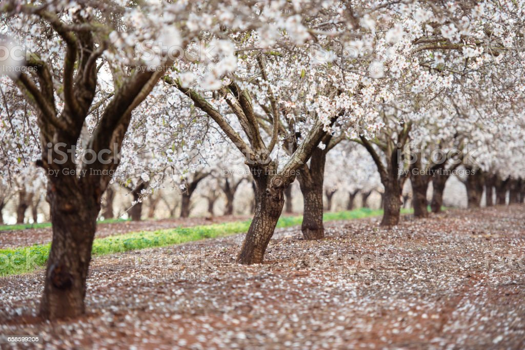 Blossom almond trees field. stock photo