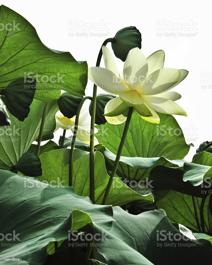 Blossom and Pods royalty-free stock photo