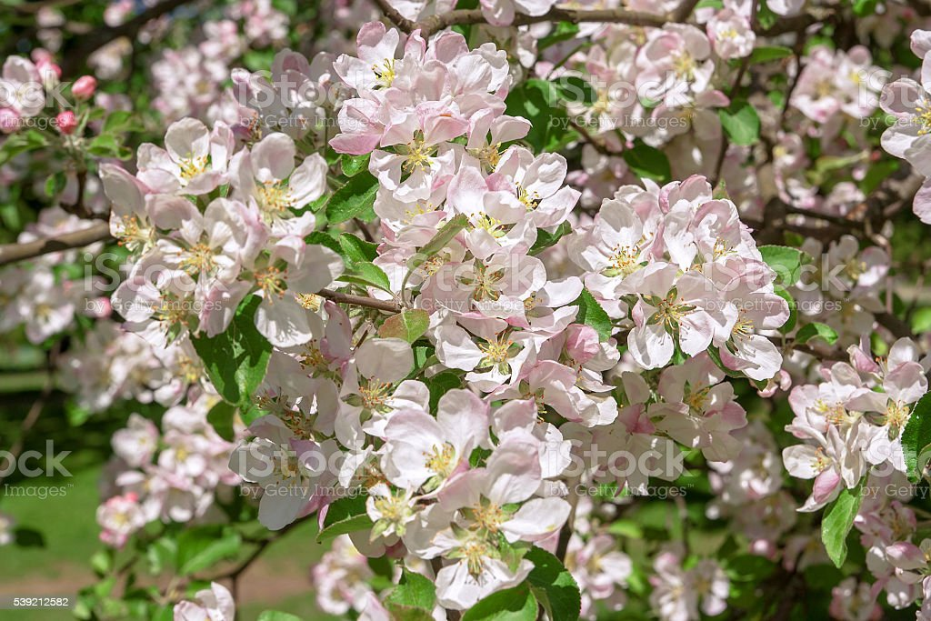 Blossom apple over nature background, spring flowers stock photo