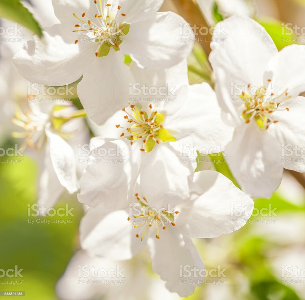 Blossom apple tree. White spring flowers closeup stock photo