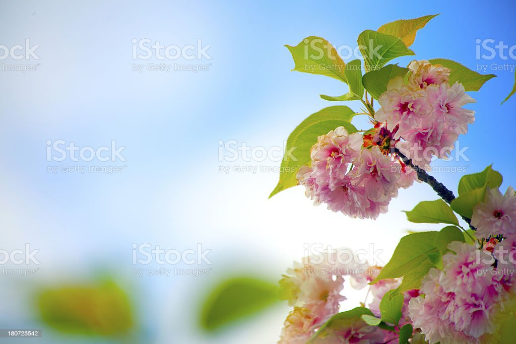 Blossom Background royalty-free stock photo