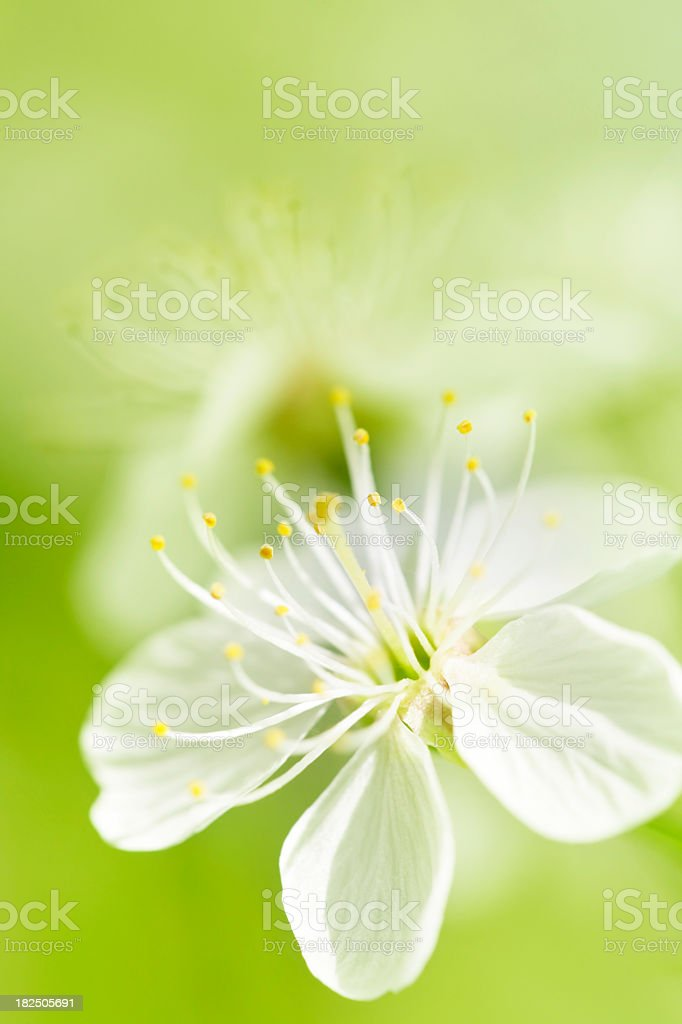 A blossom background with white flower in full bloom stock photo