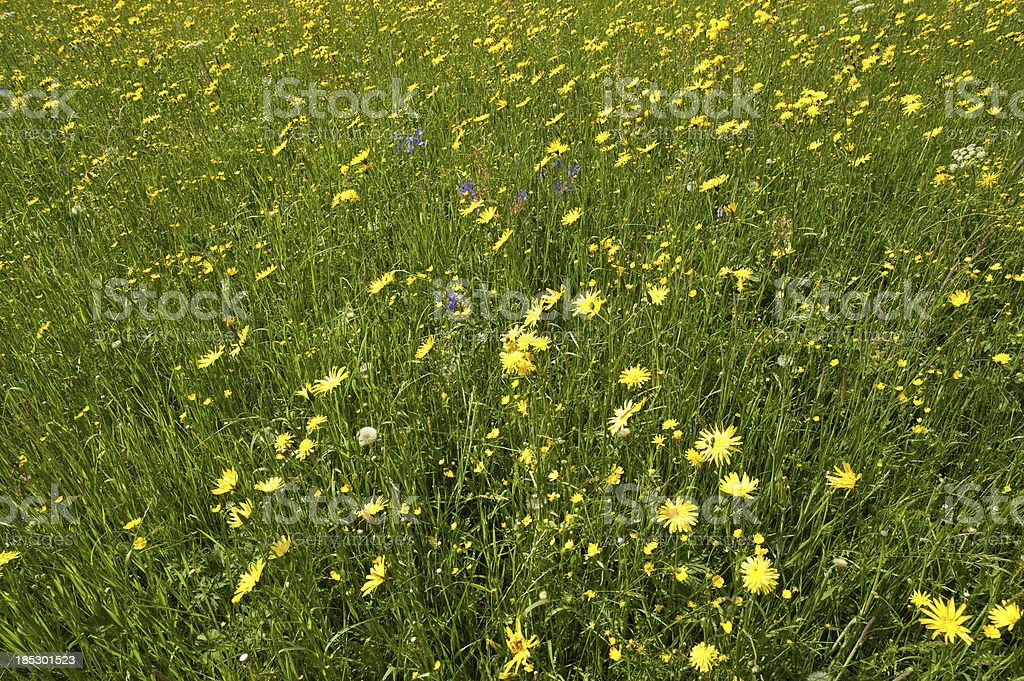 Blossom buttercup green grass meadow springtime background stock photo