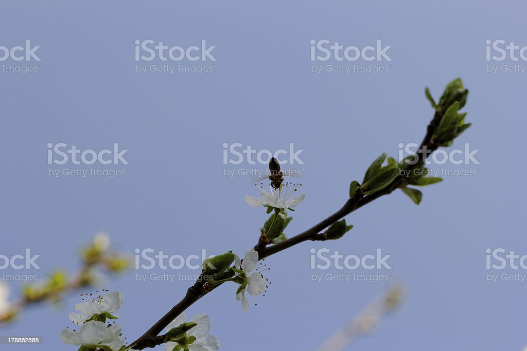 blossom cherry tree with bee royalty-free stock photo