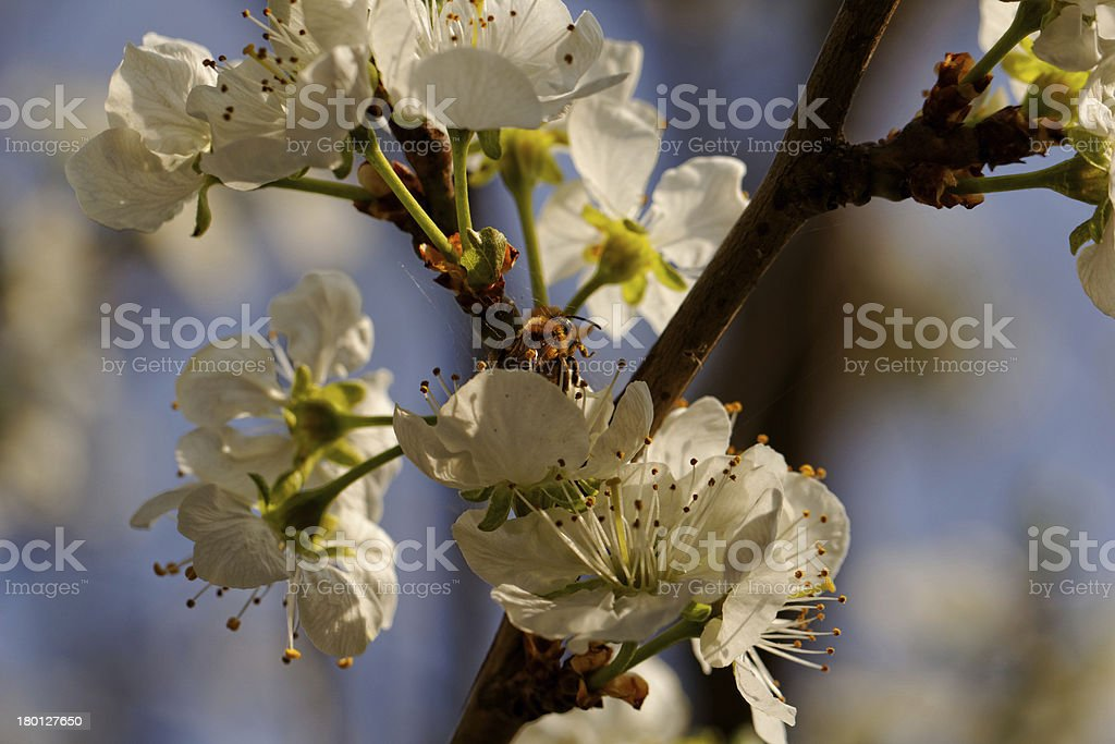 blossom cherry tree with bee royalty-free stock photo
