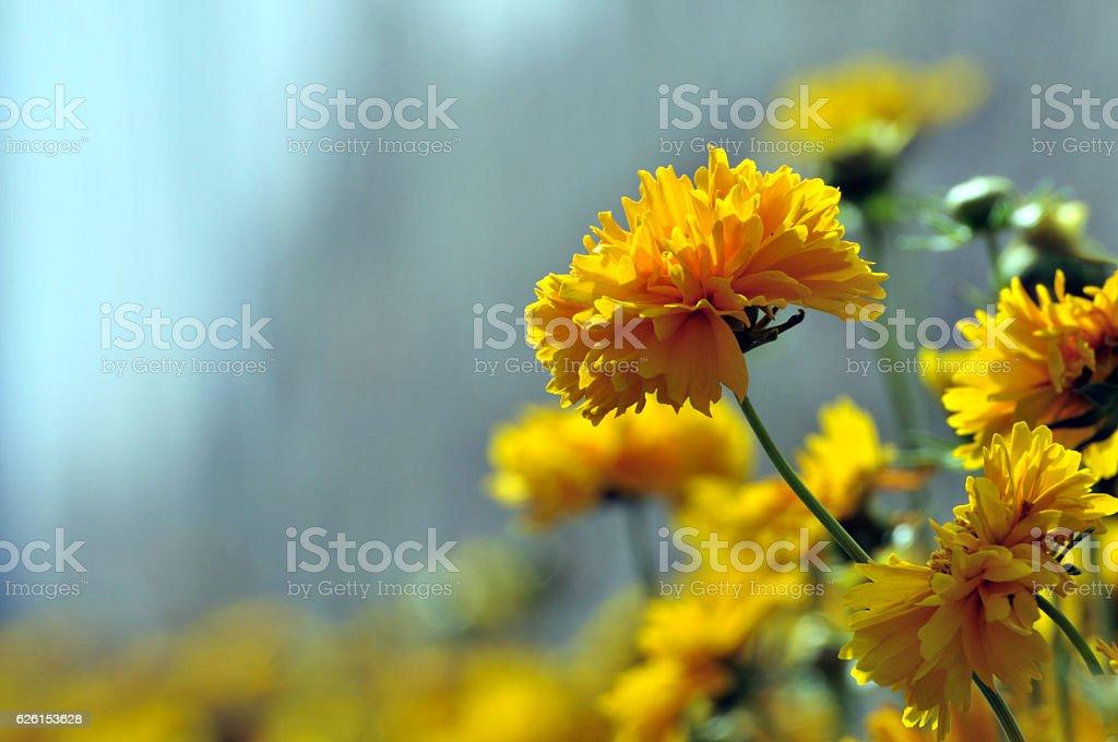 Blossom chrysanthemum stock photo