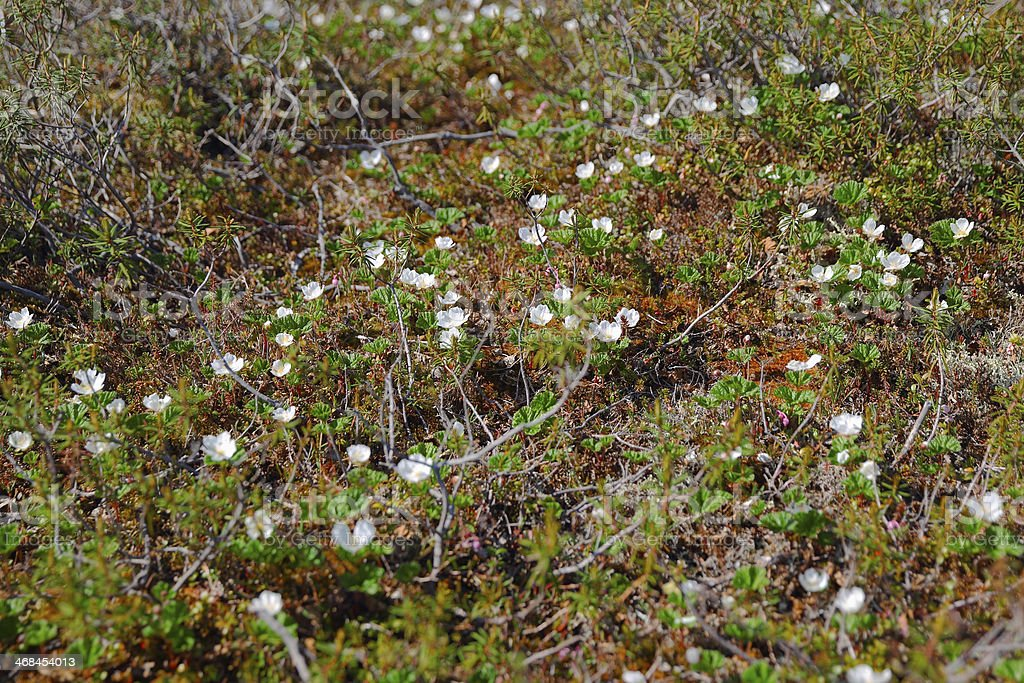 Blossom cloudberry ロイヤリティフリーストックフォト