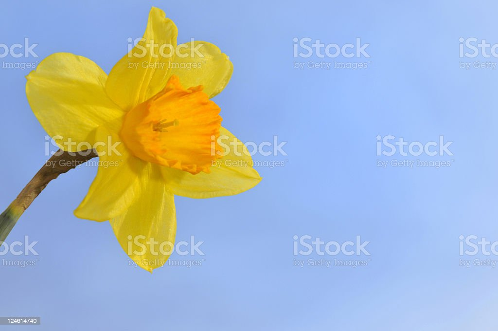 blossom dafodill royalty-free stock photo