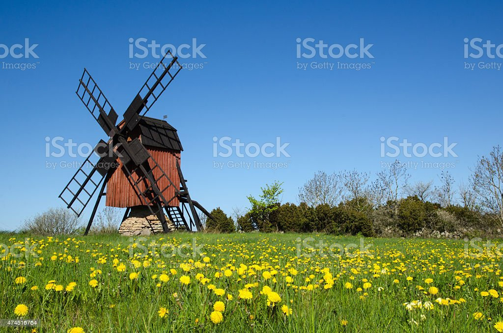 Blossom dandelions by a traditional windmill stock photo