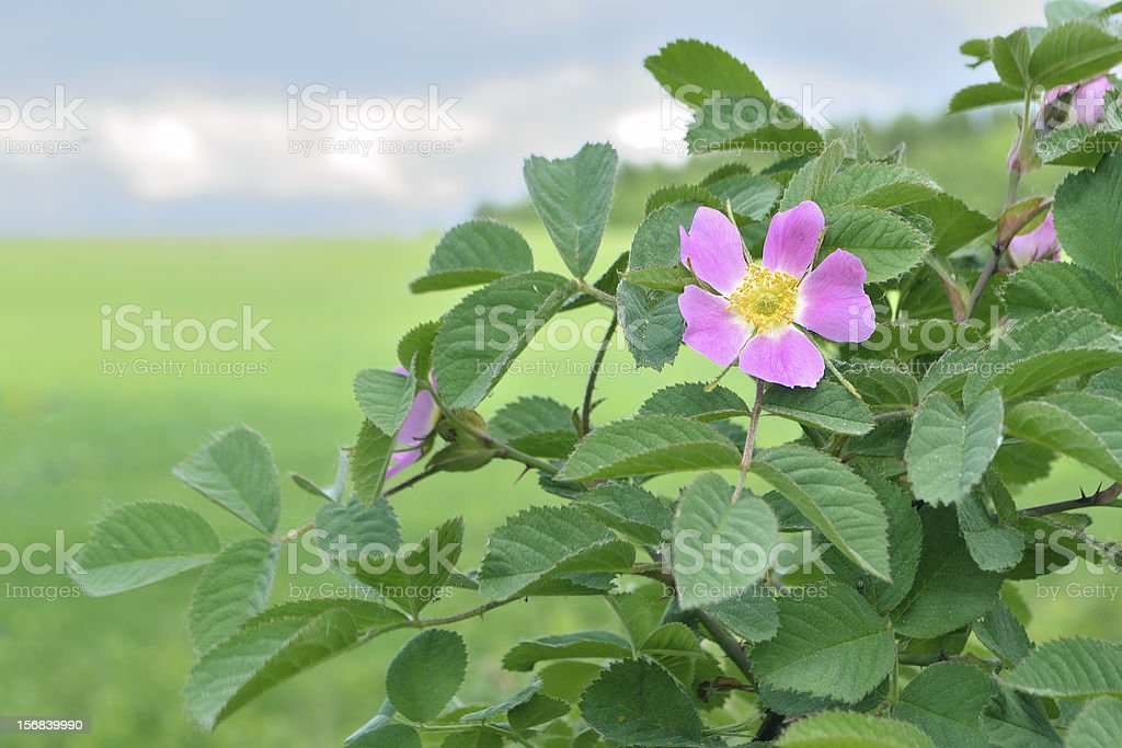 blossom dog-rose bush royalty-free stock photo