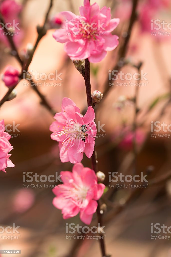 Blossom flower at market in Ho Chi Minh city royalty-free stock photo