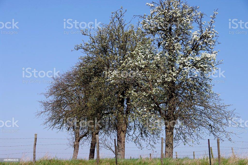 Blossom fruit tree royalty-free stock photo