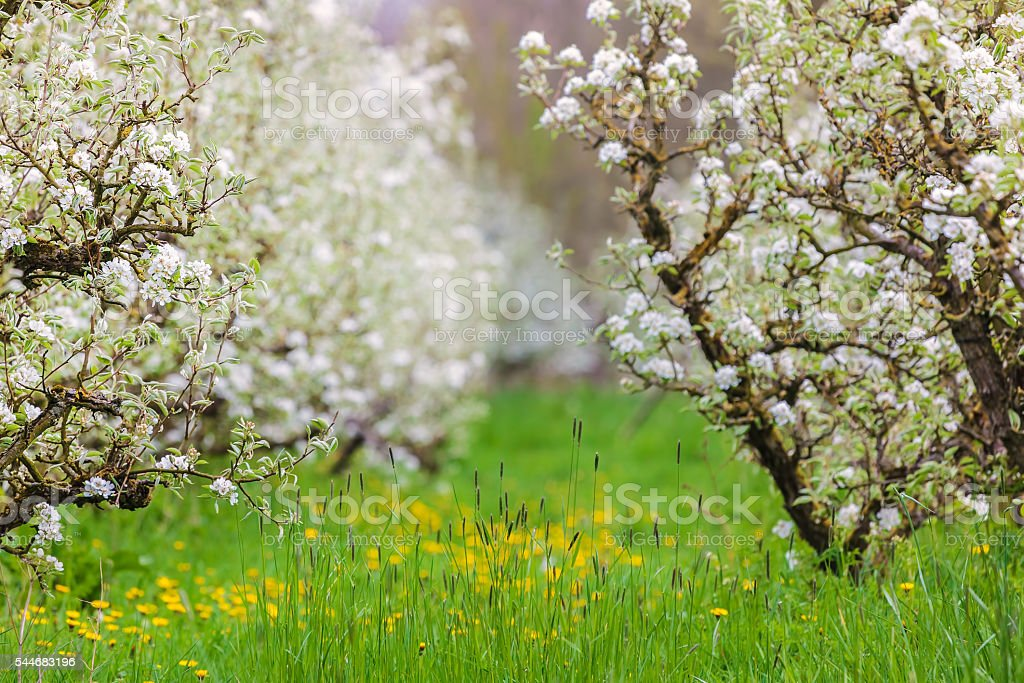 Blossom fruit trees in the Dutch Betuwe area stock photo