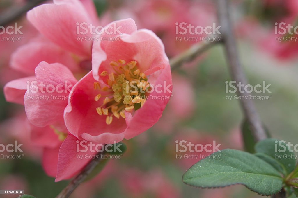 Blossom in spring royalty-free stock photo