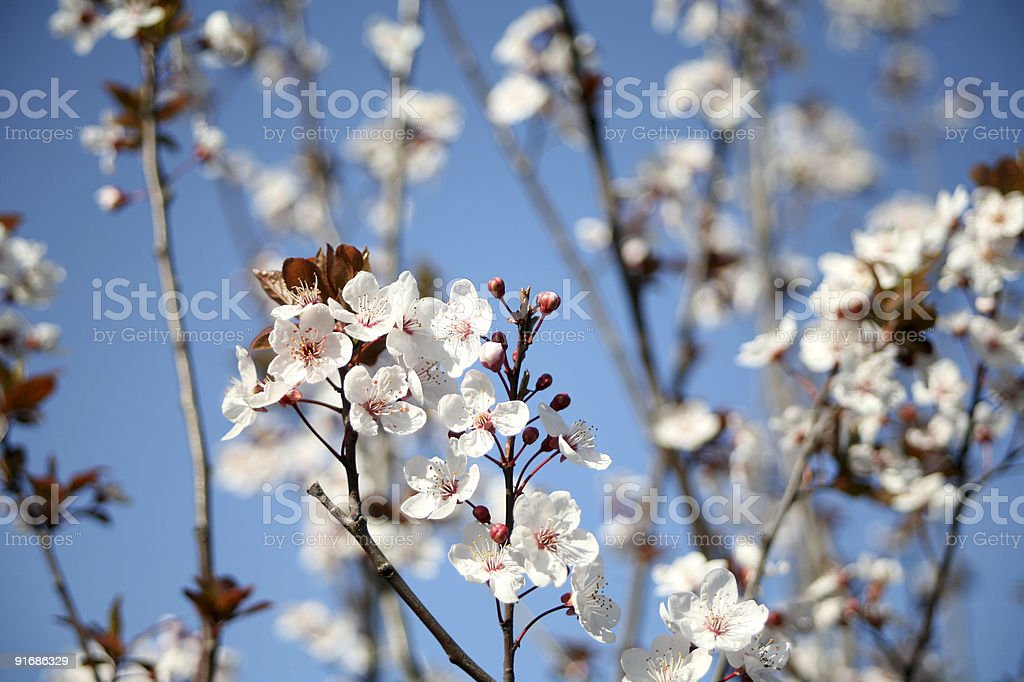 blossom in spring stock photo