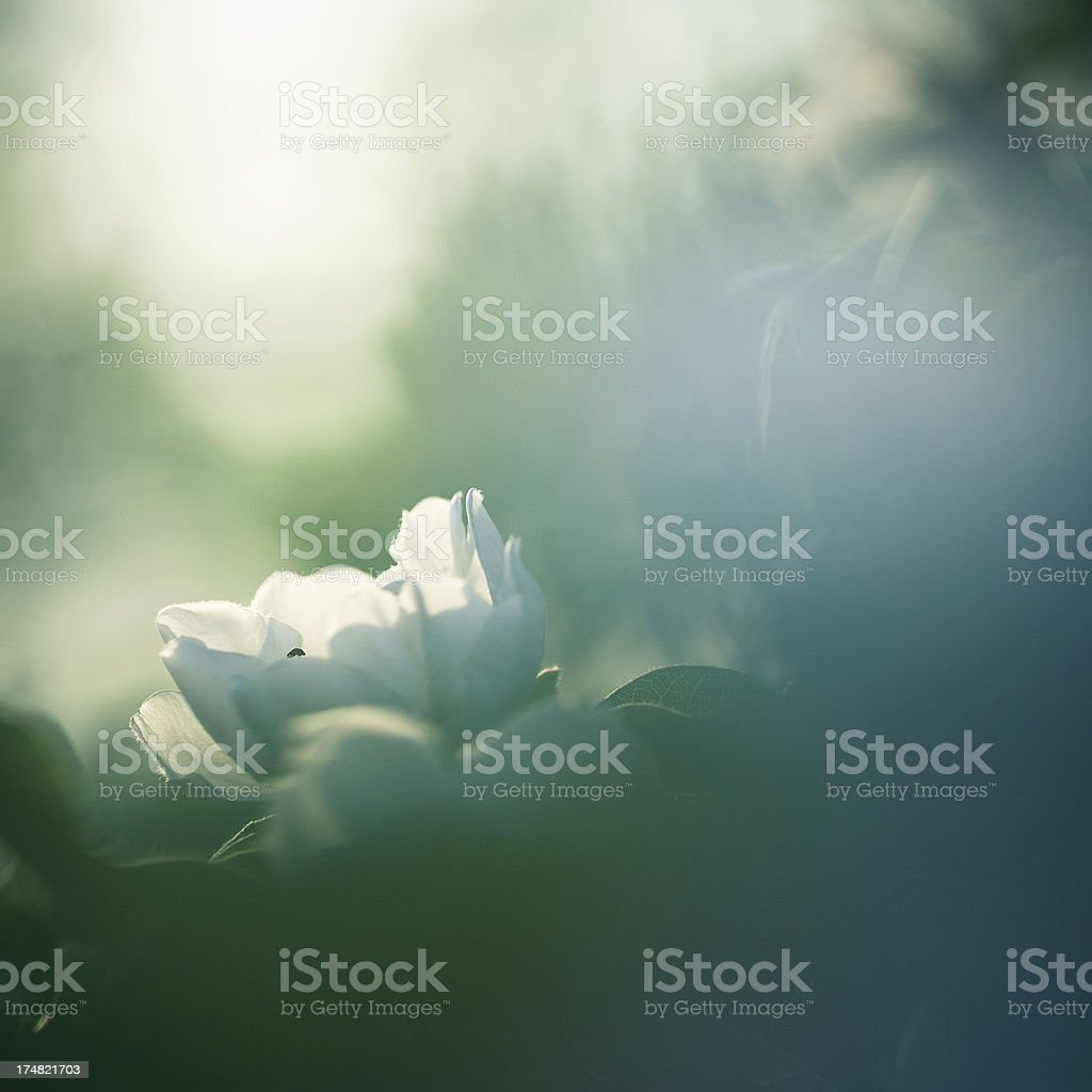 Blossom in the morning light royalty-free stock photo