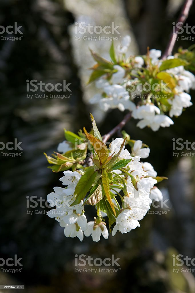 Blossom in the Spring, Niagara on the Lake stock photo