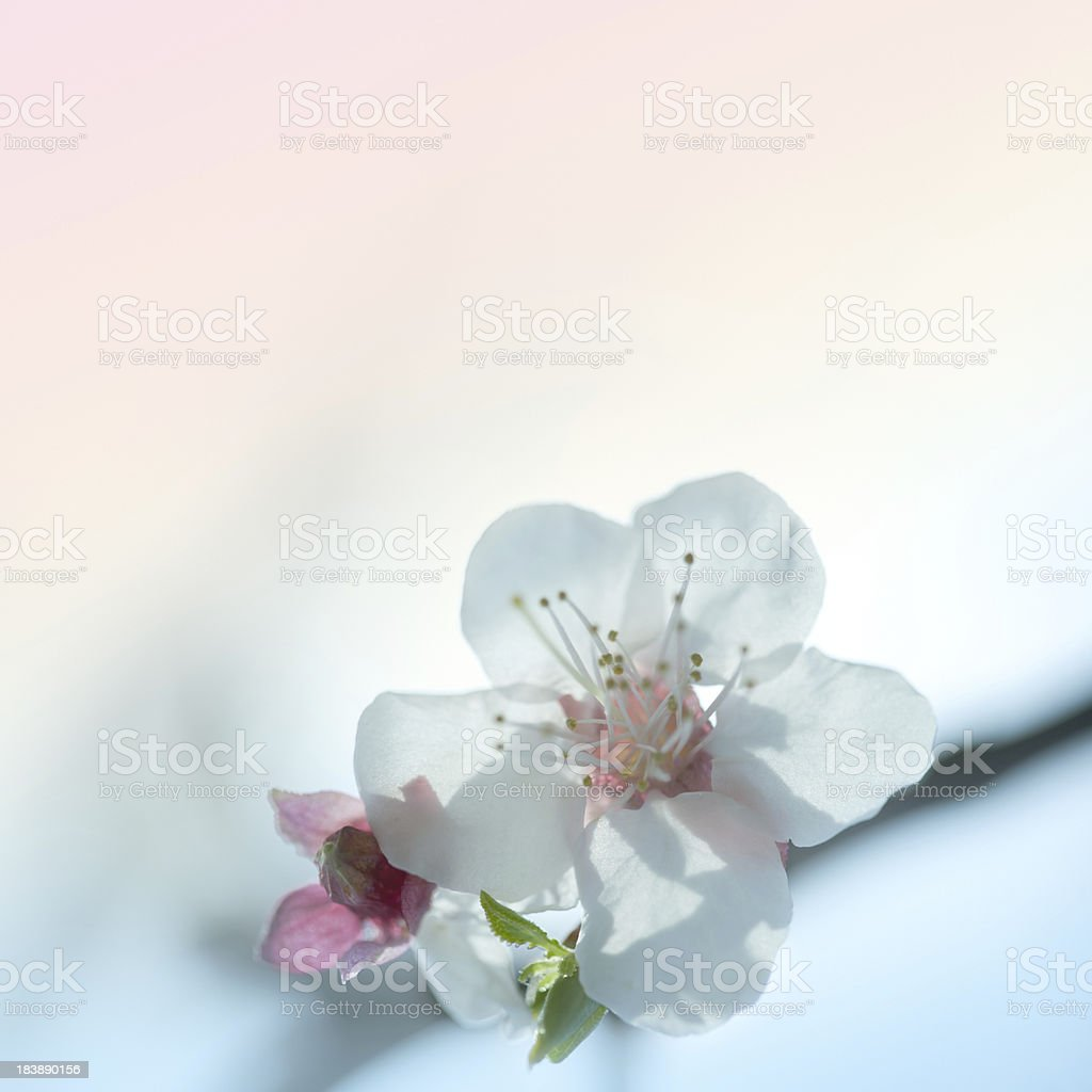 Blossom in the spring royalty-free stock photo