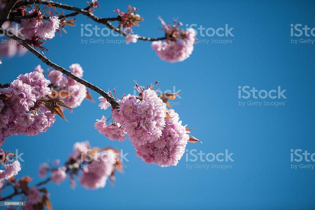 Blossom japanese cherry frame stock photo